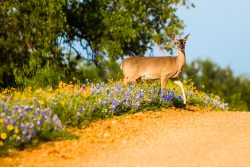 A deer came out of a wildflower field along a farm road in Hill Country, Texas, posing for a second as she stretched her beautiful leg.