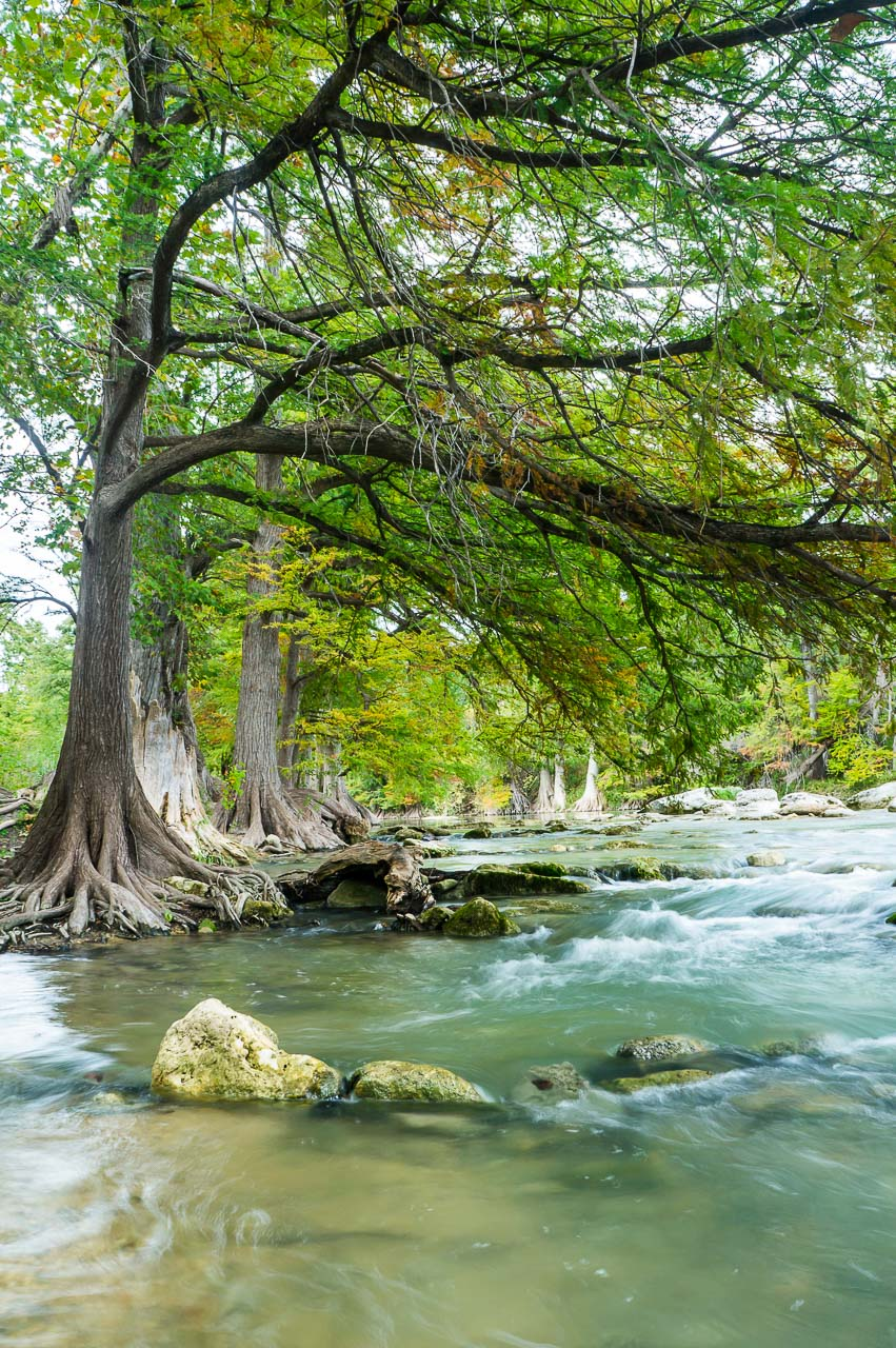 Texas Bald Cypress Tree | Picture, Image, Photo Print | A ...