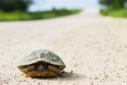 A turtle was walking on a quiet unpaved farm road near Chappell Hill, TX. He was on a long journey.