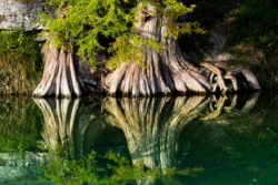 The massive trunks of bald cypress trees  reflected on a quiet stream of the Guadalupe River in TX.