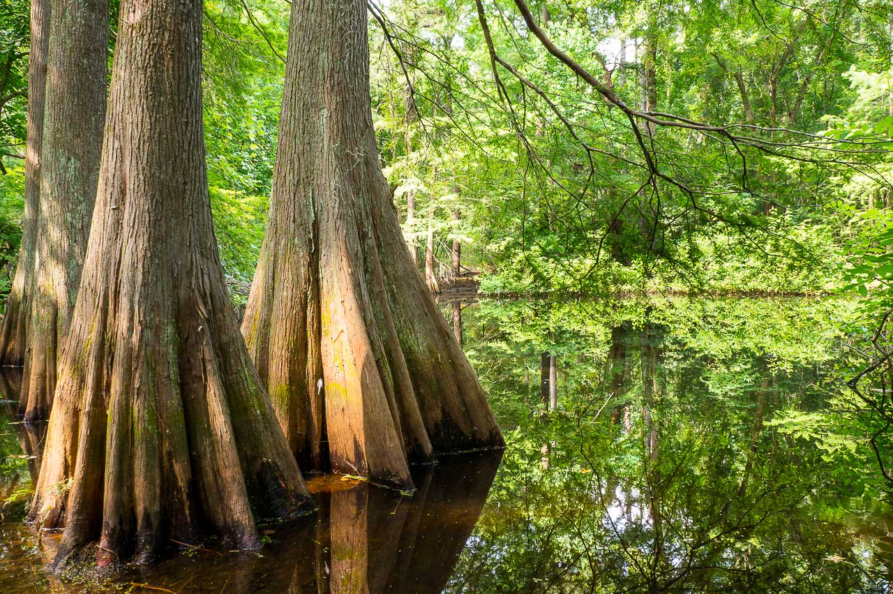 bald cypress in summer green texas forests swamps texas trees