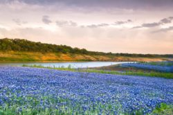 A field of wildflowers cover the Colorado River bank in Spicewood, Texas.