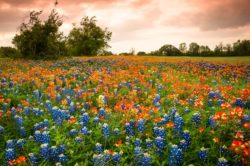 A filed of Bluebonnet and Indian Paintbrush was seen near Brenham, Texas in the evening.