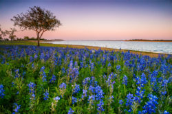 Bluebonnets were blooming by Lake Somerville in Texas, enjoying a soft breeze in the evening.