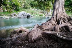 Beautifiul rolling roots of a bald cypress tree were seen in front of the Guadalupe River in Spring Branch, Texas.