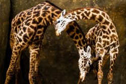 "Two Masai Giraffes were fighting to establish dominance by using their necks as weapons, a behavior known as ""necking."" Swinging and crossing their magnificent necks, they looked like they were dancing together."