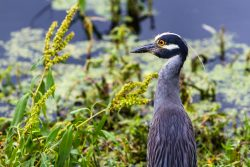 A Yellow Crowned Night Heron started gazing at something far away.