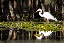 The white plumage of a great egret seemed to glow in the middle of a quiet dark forest and the still water.