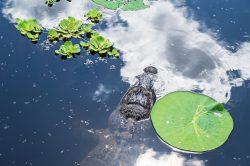 An American Alligator swam into the reflection of a cloud at Cullinan Park in Sugar Land, Texas.