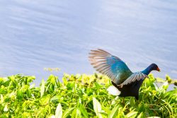 A Purple Gallinule jumps around the water plants, looking for food.