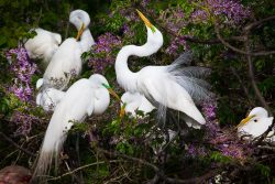 One of the great egrets started dancing in a flowery tree in High Island, Texas.