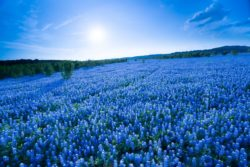 The flowers of Bluebonnets were densely blooming, covering a seemingly endless field in Spicewood, Texas.