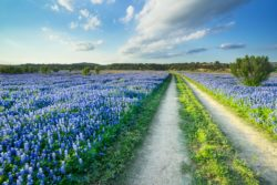 A trail stretches in the middle of a seemingly endless bluebonnet field in Spicewood, Texas.