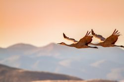 Two sandhill cranes were flying in the evening sun looking over the mountains near Bosque del Apache National Wildlife Refuge in New Mexico