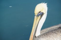 A brown pelican swam into sunlight from a dock in  Ingleside, Texas. Her plumage looked like it was shining in the sun.
