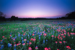 The flowers of Bluebonnet and Indian Paintbrush were softly lit by twilight after the sun disappeared below the horizon in Brenham, Texas.