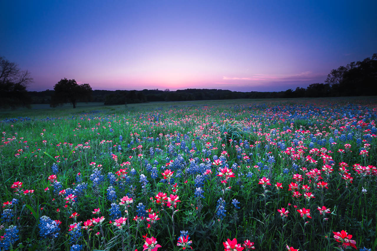 A spring nights wildflower dream texas texas wildflowers the flowers of bluebonnet and indian paintbrush were softly lit by twilight after the sun disappeared mightylinksfo
