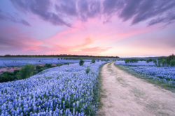 The sky changed its colors after the sunset and a soft breeze ran across a bluebonnet field in Spicewood, Texas.