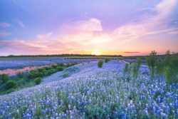 The sky was slightly painted pink right before the sun dissapeared under the horizon at a bluebonnet field in Spicewood, Texas.