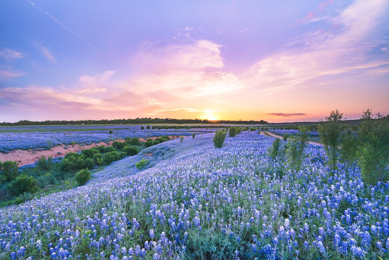 Sunset At A Bluebonnet Field Texas Texas Wildflowers Photos