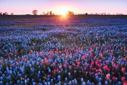 The flowers of Bluebonnet and Indian Paintbrush enjoy the last sunlight of the day in Brenham, Texas.