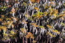 The leaves of bald cypress trees were changing their colors, decorating the Spanish moss in Caddo Lake, Texas.