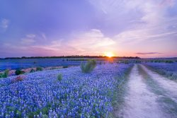 The setting sun was shining like a star at the horizon over a beautiful bluebonnet field in Spicewood, Texas. The field emerged from the bottom of the Colorado River during the drought in 2015.