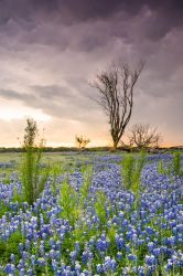 A tree looked as if it can touch the stormy clouds that were rolling into a beautiful field of bluebonnets in Spicewood, Texas.