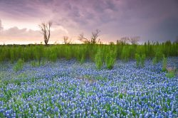 Bluebonnets and their surrounding greeneries wait for the storm rolling into the area in Spicewood, Texas.