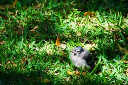 A Blue Jay fledgling was in the middle of his flight lesson under a canopy tree on a spring day in Cypress, Texas.
