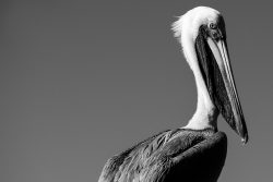 After looking far off into the distance from a dock in Ingleside, Texas, a Brown Pelican (Pelecanus occidentalis) turned his heard around to check a boat that has just took off for a fishing trip.
