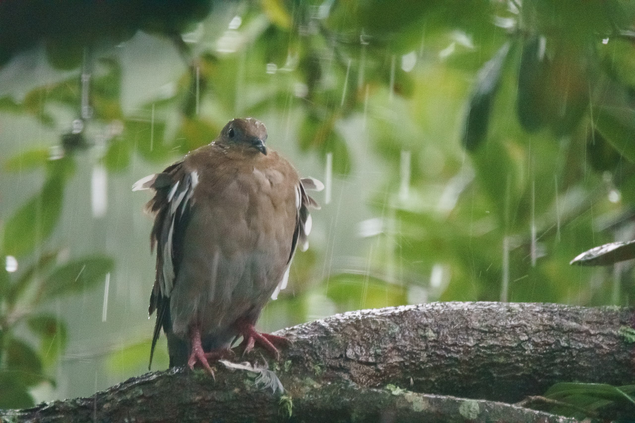 A white-winged dove takes shelter from Tropical Storm Harvey under a tree canopy in Houston, Texas, on August 27, 2017.